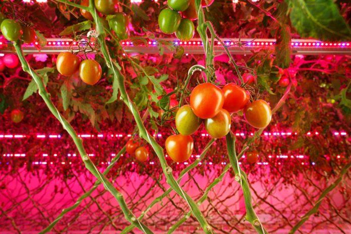 <pre>Signify Partners RIAT выращивает помидоры и огурцы на вертикальной ферме без дневного света