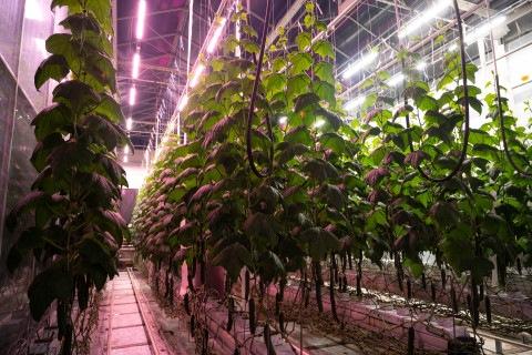 Fluence от Osram добавляет четыре Spectra к серии освещения VYPR для оптимизации выращивания в помещении