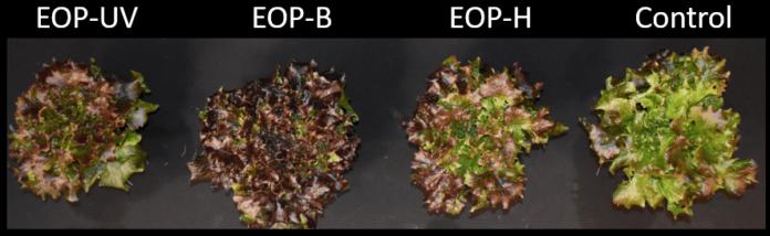 Исследование обнаруживает, что воздействие мощного светодиодного освещения до сбора урожая может улучшить питание салата