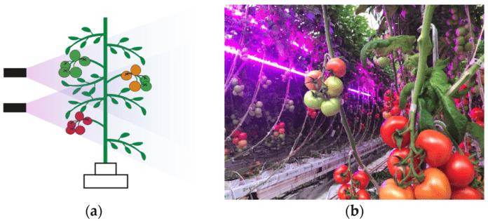 Светодиодное освещение способствует повышению урожайности томатов, выращиваемых в теплицах Средиземноморья