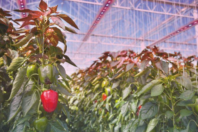 【Эксклюзивное интервью】 Ведущая технология Hyper Red LED от Osram Opto Semiconductors для поддержки растущего мирового рынка освещения для садоводства