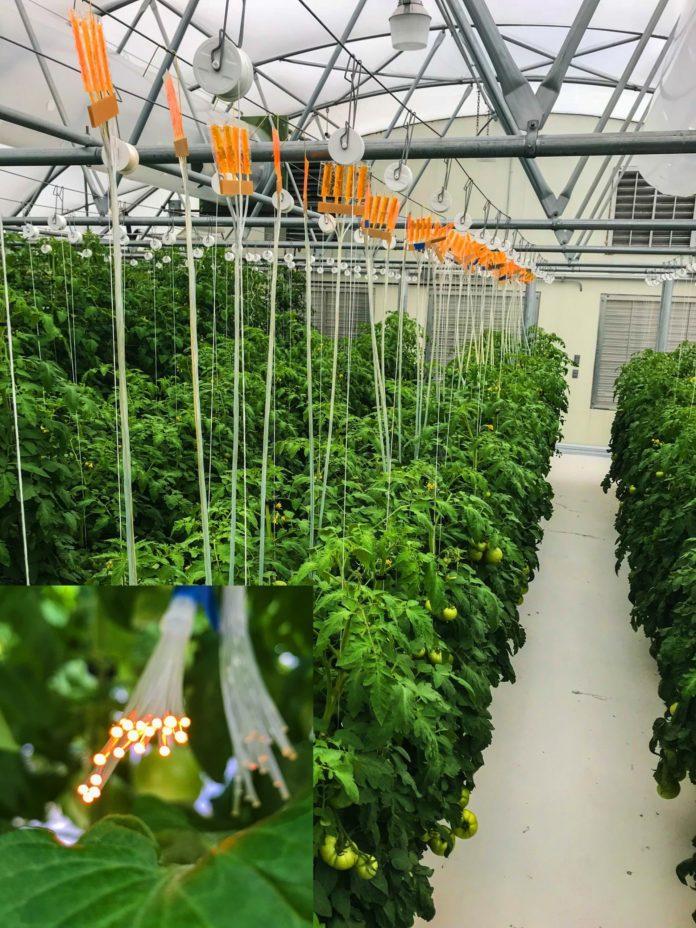 <pre>Оптоволоконная технология Quantum Dot поддерживает освещение для садоводства
